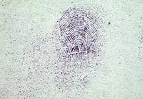Fingerprint on white paper developed with ninhydrin.
